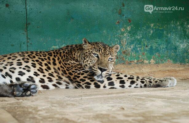 В Армавирском зоопарке родился детеныш леопарда, фото-1