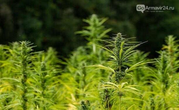 В Армавире возбудили уголовное дело за выращивание конопли, фото-1