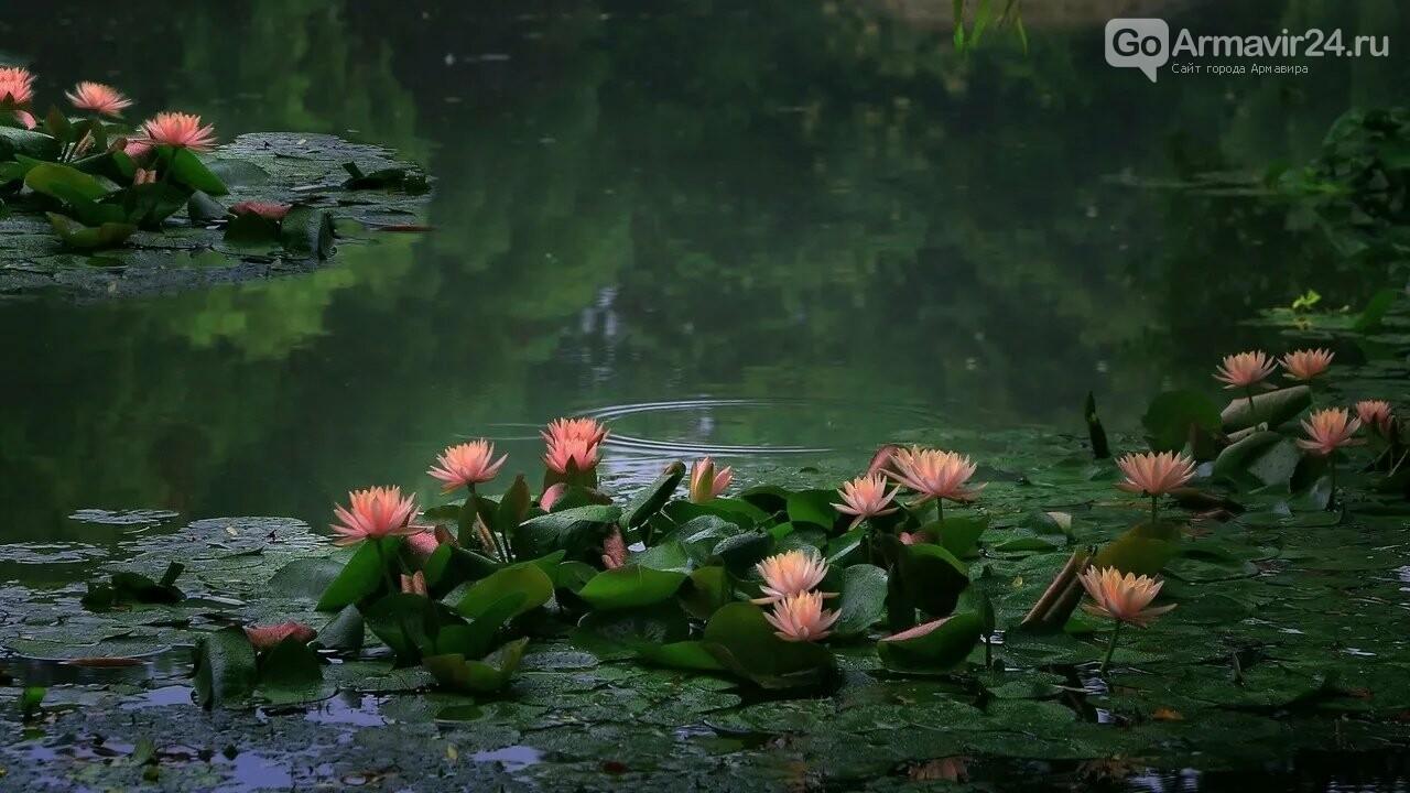Кувшинки-царицы вод, украсили армавирское водохранилище, фото-3