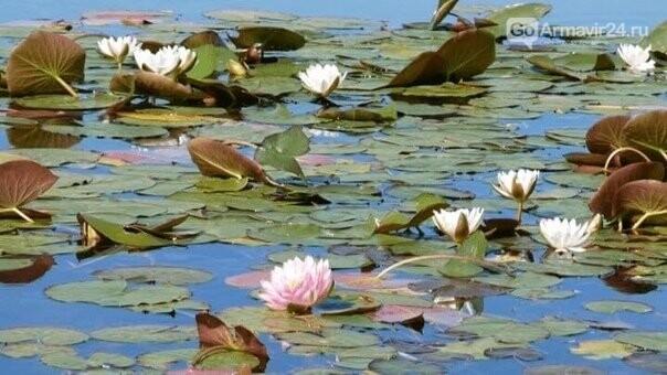 Кувшинки-царицы вод, украсили армавирское водохранилище, фото-5